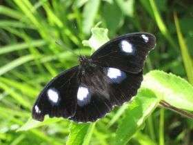 Hypolimnas Bolina Male
