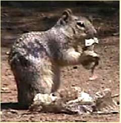 Squirrels use snake scent
