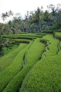 Terraced Rice Farm in Bali, Indonesia