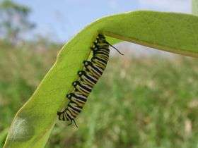 Researcher shows evolution of milkweed defense system