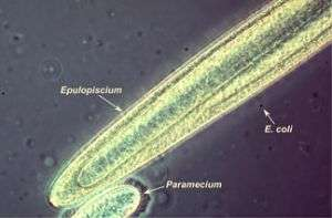 Researcher searches DNA for secrets to bacteria's large size