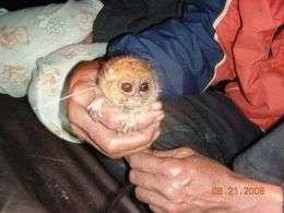 the pygmy tarsier