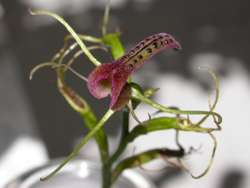 Orchid sexual deceit has male wasps in a loved-up frenzy