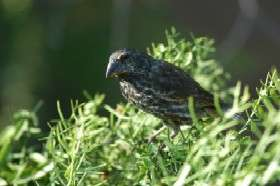New Research on Darwin's Finches Offers Rare Glimpse Into How Species Diverge
