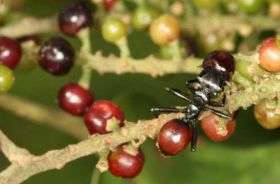 Ant parasite turns host into ripe red berry, biologists discover