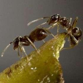 Attack of the invasive garden ants