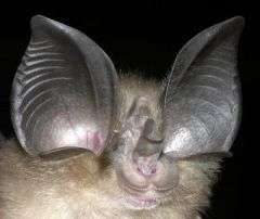Big-Eared Horseshoe Bat