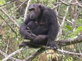 Chimp Mother and Infant