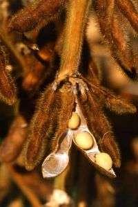 Dry Soybean Pod