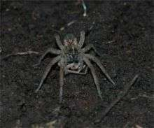 Female Wolf Spider Eating a Male