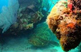 Goliath Grouper in the Dry Tortugas