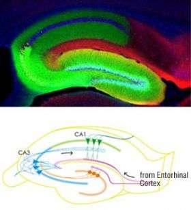 New tool probes brain circuits