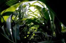 On the Menu: Cold Corn?