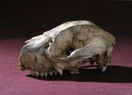 Protemnodon Skull