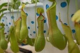 Secret of the carnivorous pitcher plant's slurp -- solved at last