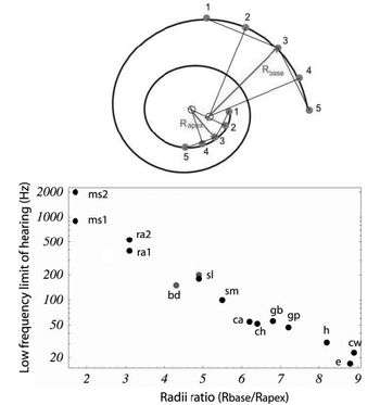 Linking low frequency hearing to the cochlea's curvature