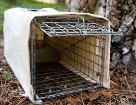 Troublesome, Non-native Squirrels Will Get Birth-control Shots