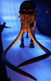 A woman works on an exhibit at a mammoth show