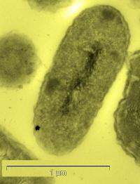 Bacterium helps formation of gold