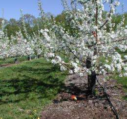Long-term study of orchard ground cover management systems