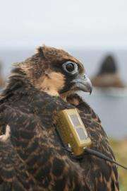 Migratory route of Eleonora's falcon revealed for first time