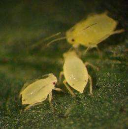 'Natural' nitrogen-fixing bacteria protect soybeans from aphids