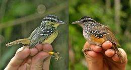 Rival bird species evolve to sing same tune