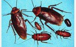 With Help from a Bacterium, Cockroaches Develop Way to Store Excess Uric Acid
