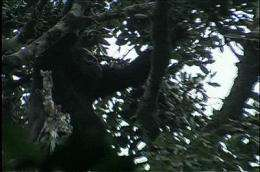 World's rarest gorilla ready for its close-up