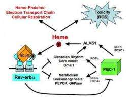 Inner workings of molecular thermostat point to pathways to fight diabetes, obesity