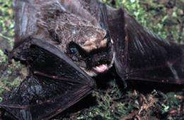 We're off then: the evolution of bat migration