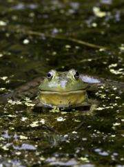 Smithsonian scientists find the frog legs trade may facilitate spread of pathogens