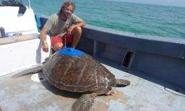 Scientists track green turtle's 900km migration