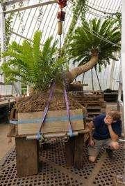 A 234 year-old plant known as a cycad at the Royal Botanical Gardens at Kew