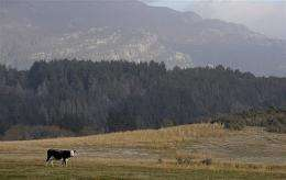 A cow is covered with ash of the Chilean Chaiten volcano near the border town of Los Cipreses