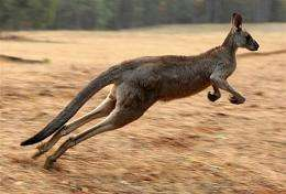 A kangaroo is pictured in the Kiewa Valley