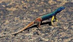 An adult male Augrabies Flat Lizard