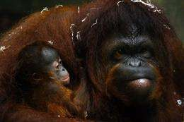 An Australian zoo has been evacuated after an orangutan escaped after using a branch to scale an electric fence