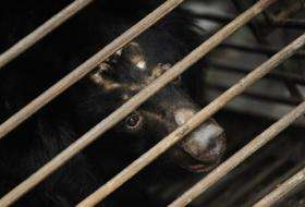 A rescued moon bear peers out of a cage at the Animals Asia Moon Bear Rescue Centre