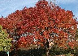 ARS Scientists Cryopreserve Pest-Imperiled Ash Trees