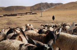 A Tibetan herdsman monitors his flock of sheep from a distance outside Tongde