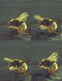 Bumblebee flight 'triumph of power over finesse'
