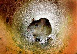Chronic stress rewires the brains of rats to make them creatures of habit who make rote decisions