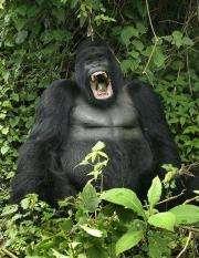Endangered Ugandan gorillas join Facebook, MySpace (AP)