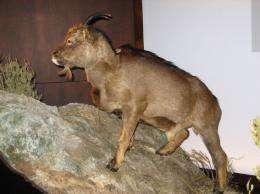 Extinct goat Myotragus balearicus