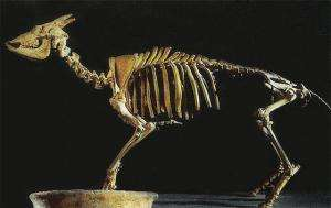 Extinct goat was cold-blooded