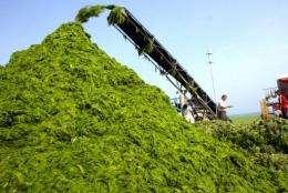 Exxon believes algae produce over 2,000 gallons of fuel per acre