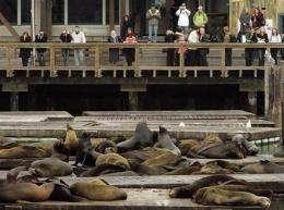 Famous San Francisco sea lions leave in droves (AP)