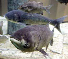 Fears mount over giant carp reaching Great Lakes (AP)
