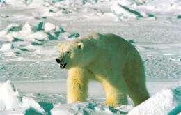 Feds designate 'critical habitat' for polar bear (AP)